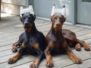 Doberman+s+ears+don+t+naturally+stand+up+and+they+re+not+naturally+_976914841828e1b758b8749a4d23c937